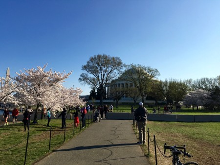 Jefferson Memorial and cherry trees in full bloom.