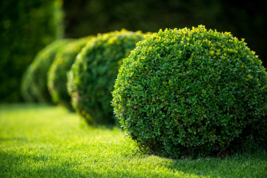 Boxwood balls in the landscape