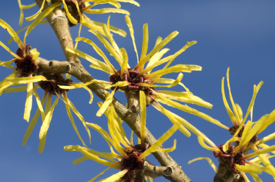 12 Great Witch Hazels For The All-Season Garden
