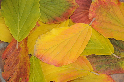 witch hazel varieties produce brilliant fall color