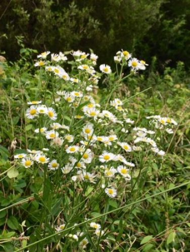 Daisy fleabane/Here By Design