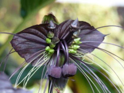 black-bat-flower-cover