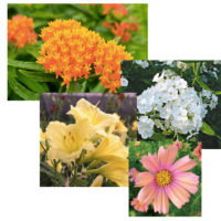 Butterfly Weed Tops Competitors To Win Perennial of the Year