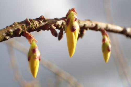 Forsythia buds on a bare branch