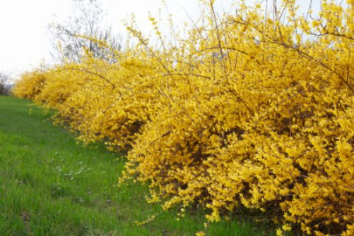 Golden yellow-flowering Forsythia x intermedia