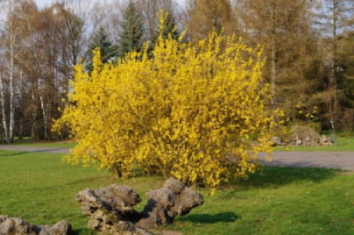 Large flowering forsythia in a botanic garden