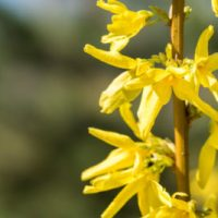 For the Love of Forsythia: Five Great New Varieties