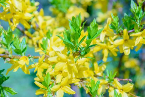 Leaves follow the blooms on a forsythia shrub