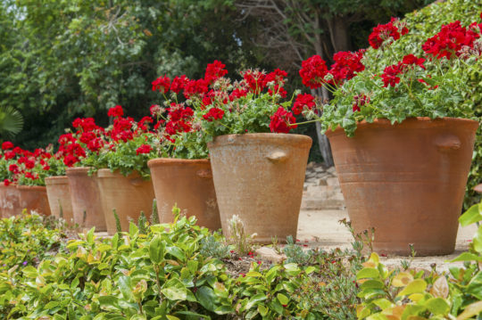 How to keep your potted plants in shape all summer here by design its that time of year again when we all head out to purchase summer flowers to plant in pots and they all start out looking gorgeous mightylinksfo