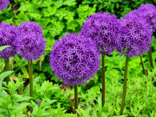 Having A Ball With Alliums Ornamental Onions Here By Design
