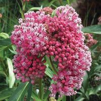 Help Save The Monarchs With These 4 Great Milkweeds