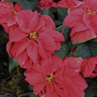 US Botanic Garden Presents The Latest Poinsettia Varieties