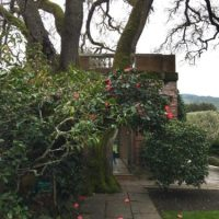 Camellias Take Center Stage At California's Filoli Gardens