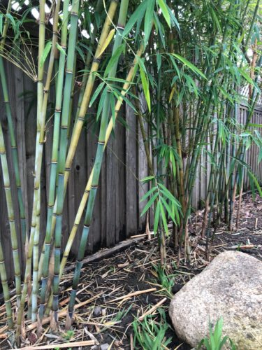 faq about growing and controlling bamboo - 375×500