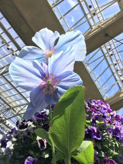 True-Blue Flowers: A Dozen Of The Best And Brightest