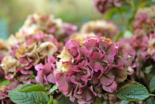 Managing Hydrangeas: To Prune Or Not To Prune And Other