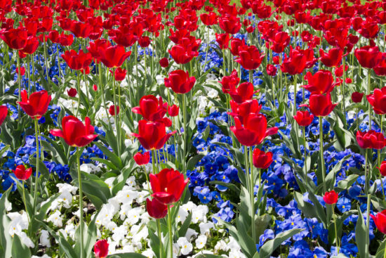 Raise the flag for the best red white and blue flowers of the for many americans the 4th of july is a time to fly the flag and dress in patriotic colors but for gardeners the fireworks start early as red white and mightylinksfo