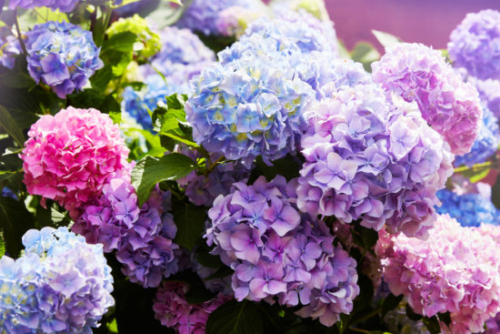 Managing Hydrangeas: To Prune Or Not To Prune And Other Existential Questions