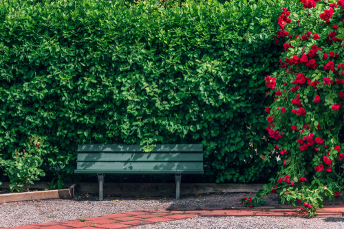 red roses and green hedge