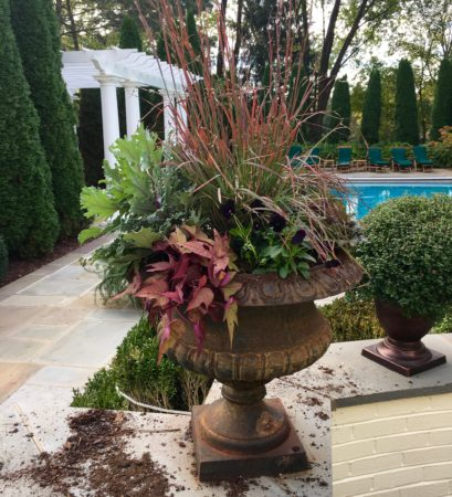 Fall container with purple fountain grass, mahogany sweet potato vine and frilly green flowering kale.
