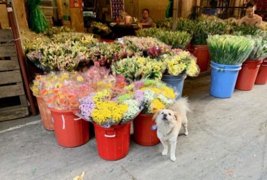 Dog guarding flower deliveries at Ho Thi Ky flower market