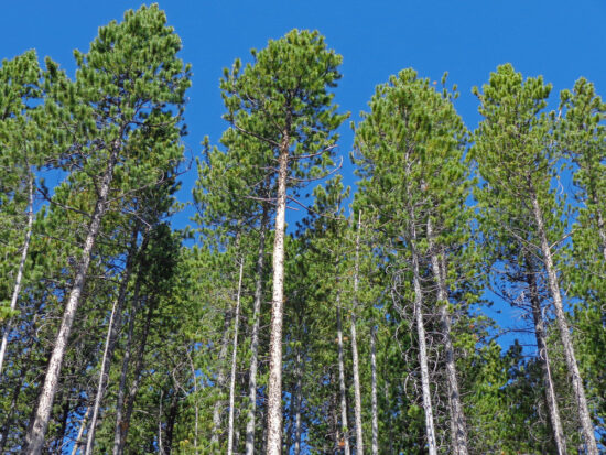 Lodgepole pine forest