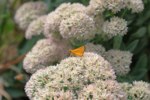 butterfly on sedum