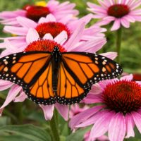 How To Build The Perfect Monarch Butterfly Garden