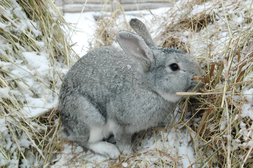 rabbit sheltering in dried grass