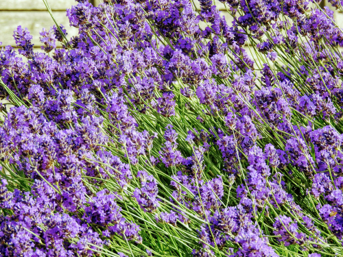 The highly fragrant flower spikes of Phenomenal lavender