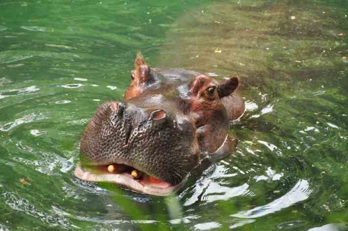 The Star of the Hippo Pool