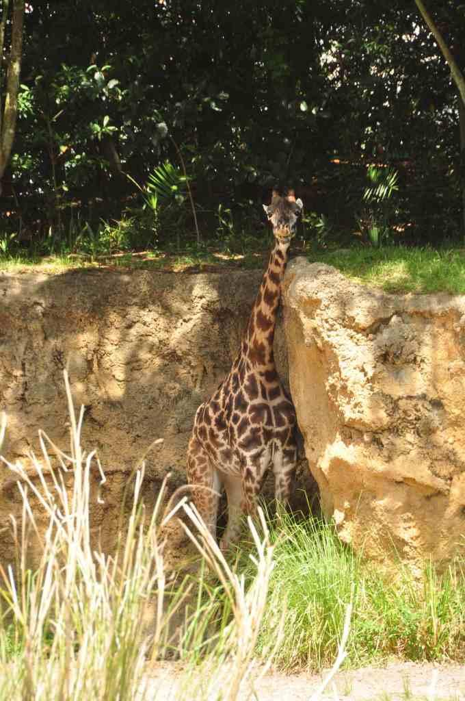 Giraffe scratching neck