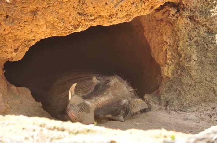 Warthogs Sleeping