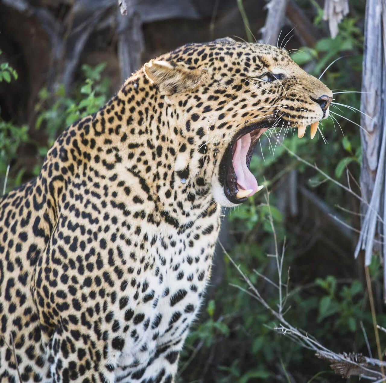 Leopard at Tsavo West National Park, Kenya