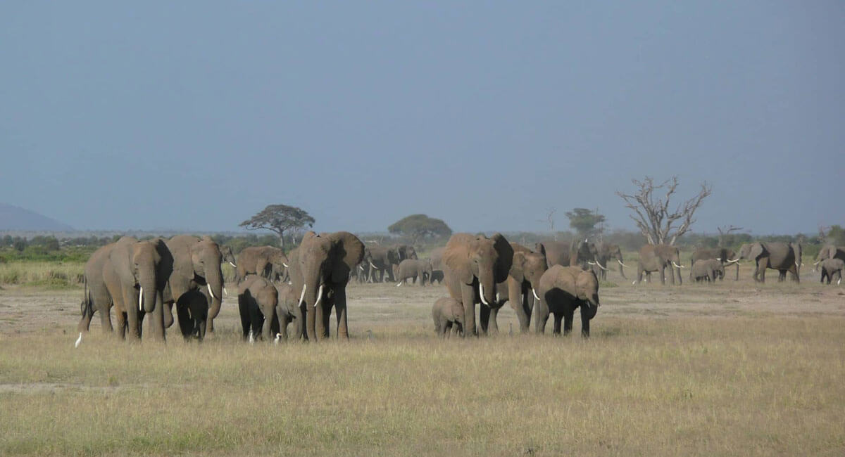 A Herd of Elephants at the Amboseli National Park