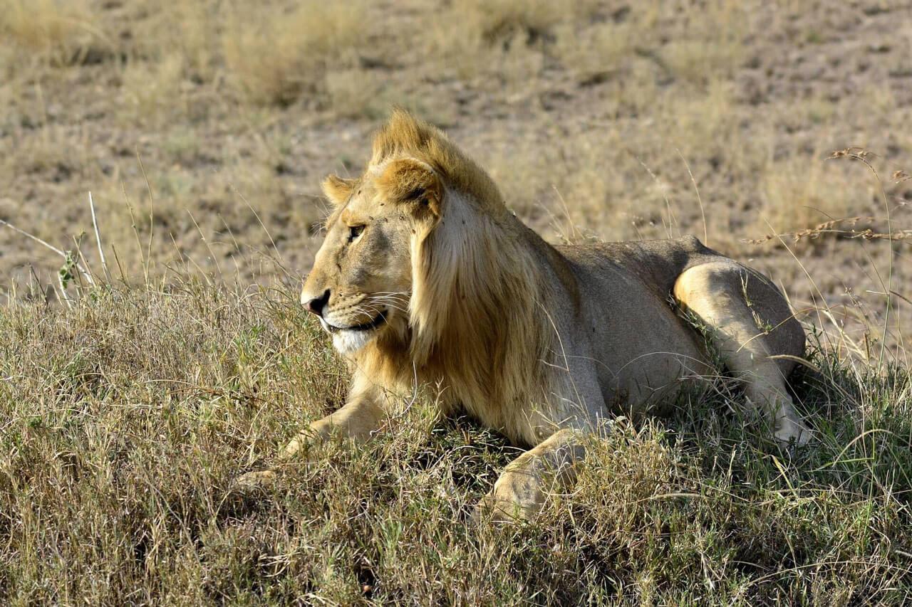 Lion, Amboseli National Park