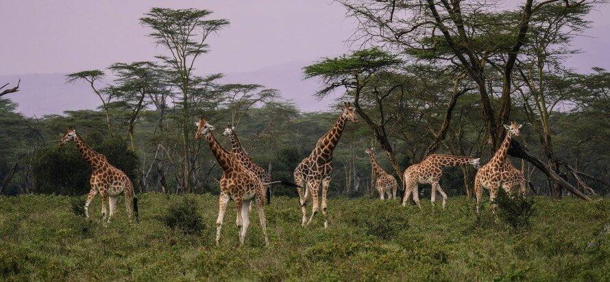 Giraffes at Lake Nakuru National Park