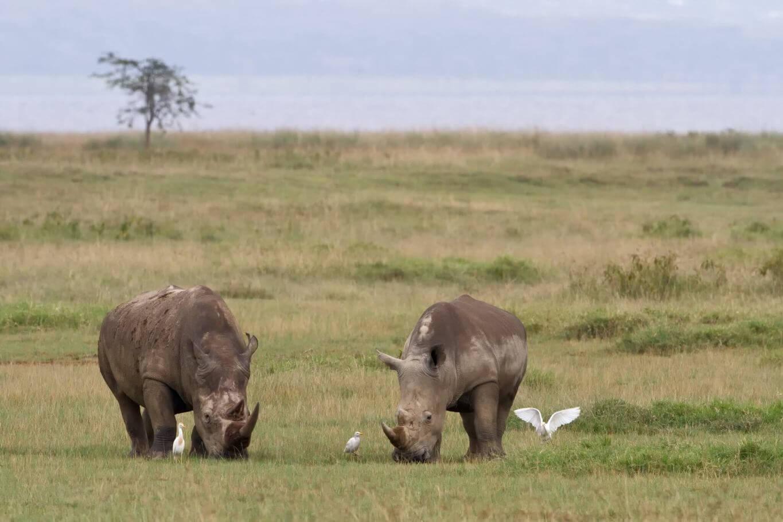 Rhinos at Lake Nakuru National Park