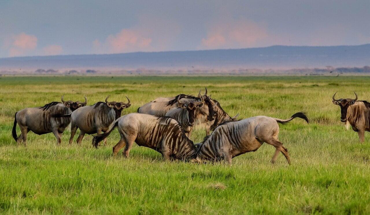 wildebeests Amboseli National Park