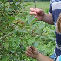 Children's hands picking blueberries
