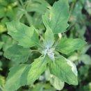 Lambsquarter weed in Catskills garden