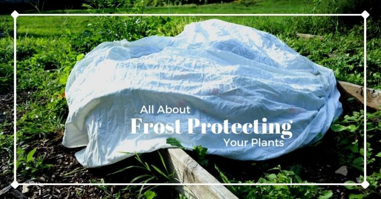 Frost protected plants covered by a sheet