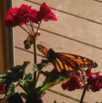 Monarch butterfly on geraniums