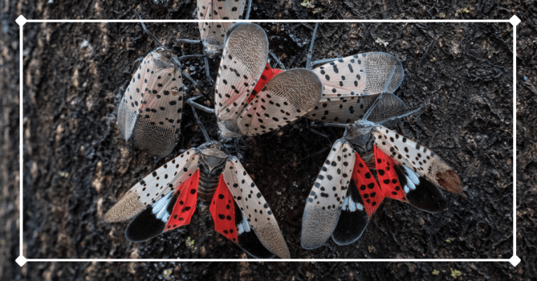 Spotted lanternflies gathering on a tree. If found in the Catskills, please report them