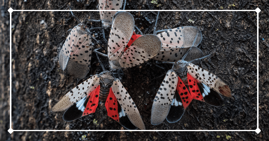 Spotted lanternflies on a tree. If found in the Catskills, please report them