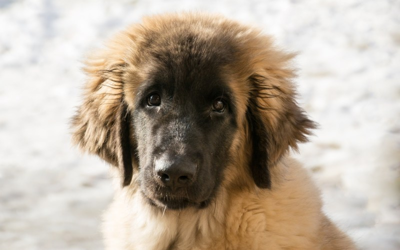 dog with fluffy fur