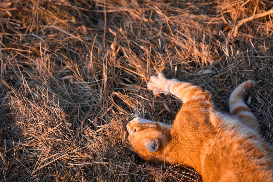 why do cats roll in dirt