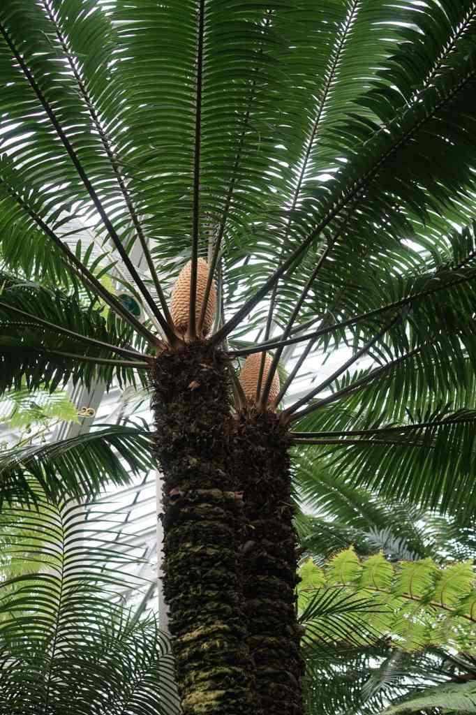 Garfield Park Conservatory Palm Cones
