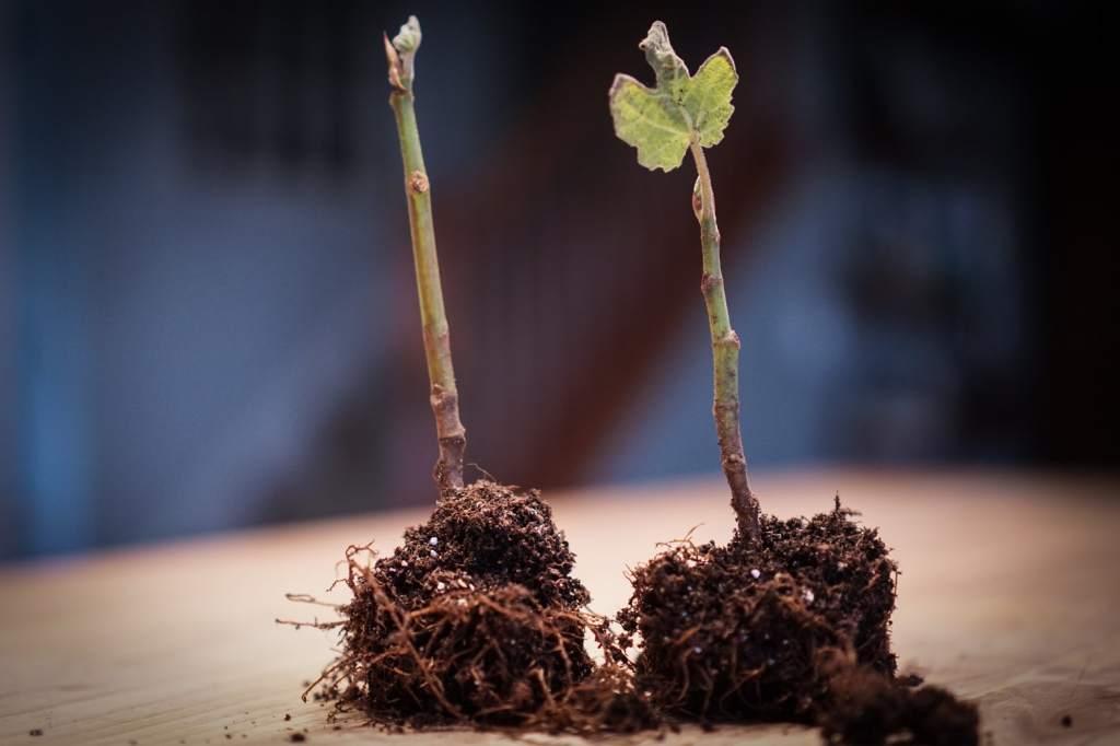 Chicago Hardy Fig Tree seedlings