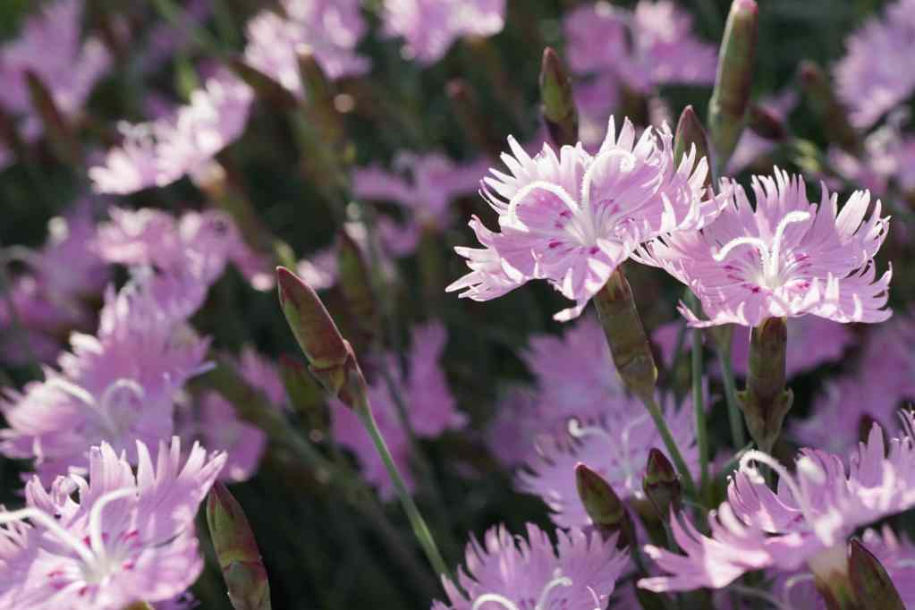 Why You Should Grow Bath's Pink Dianthus